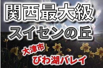 関西最大級 水仙 びわ湖バレイ