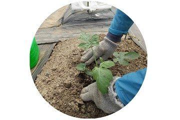 スイカ 苗 土に植える