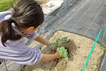 スイカ 苗 植えてる写真